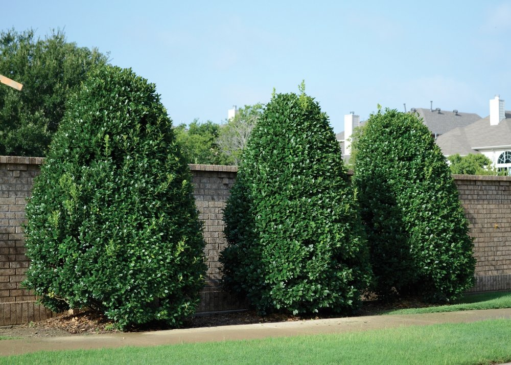 Ilex Nellie R Stevens' Evergreen Holly Tree/Shrub Quart pot ~Lot of 20~