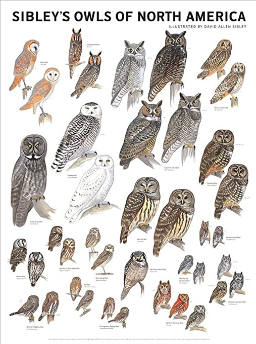 Sibley/'s Owls of North America by David Allen Poster 18x24
