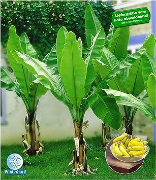 Geliebte BALDUR-Garten Winterharte Bananen 'grün' Faserbanane Bananenbaum &FH_95
