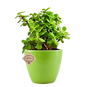 Abana Homes Beautiful Good Luck Jade Plant with Ceramic Pot
