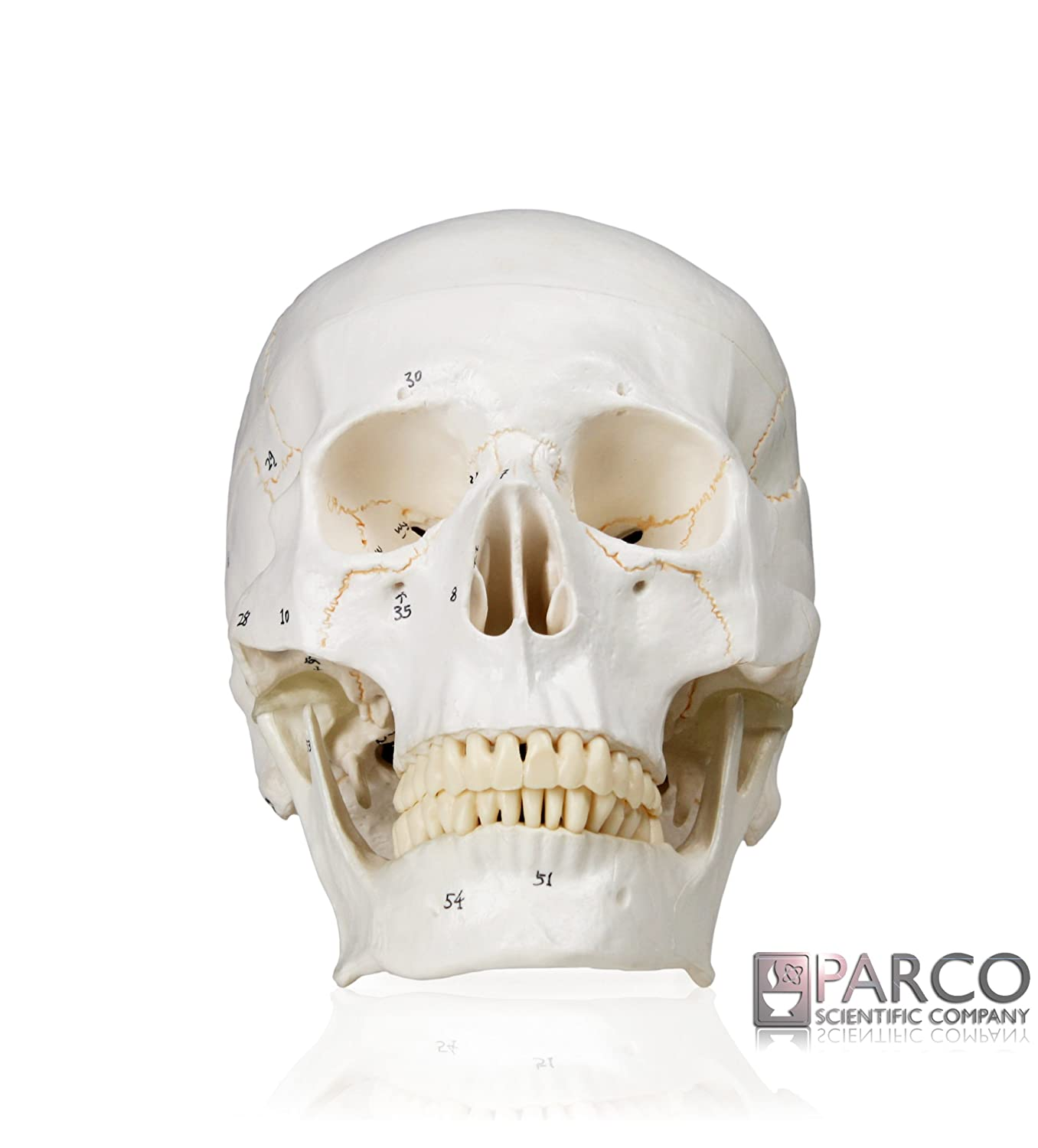 parco scientific pb00029 medical numbered human skull-3 part | life size |  from real human skull, detail hand painted numbering | sectioned skullcap