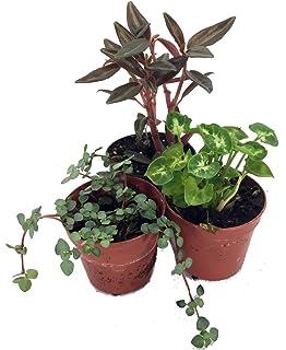 Amazoncom Terrarium Fairy Garden Plants 5 Plants in 2 pots