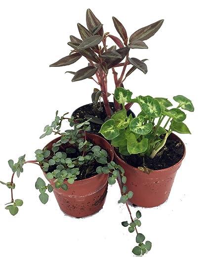 Amazon Com Terrarium Fairy Garden Plants 3 Plants In 2 Pots