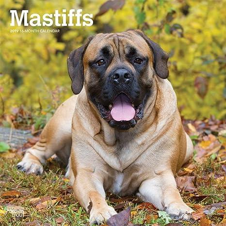 Amazon com : 2019 Mastiffs Wall Calendar, Mastiff by