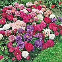 200 aster seeds chinese Chrysanthemum Callistephus Chinensis - Powder Puff Mix flower seeds for home garden planting