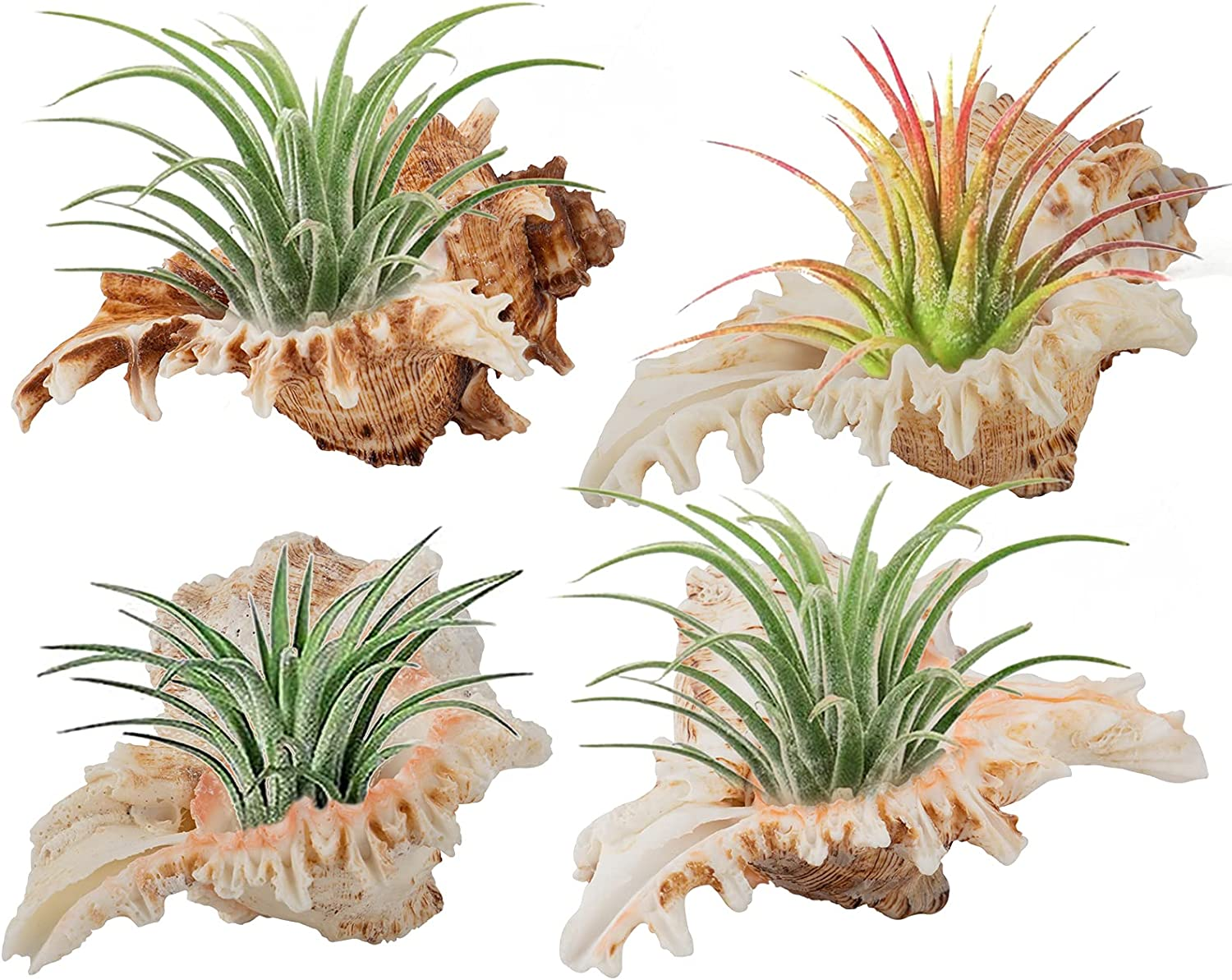 4 Pack Conch Sea Shell Plant Pots- Natural Conch Pot Air Plant Holder Decorative Tillandsia Succulent Display Container Table Centerpiece for Home Garden Decors Beach Theme Party Favors (4- 5 inches)