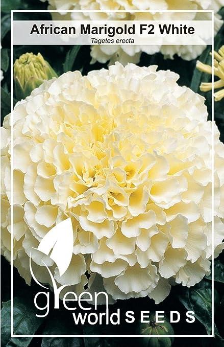Green World African White Marigold Hybrid 10 Seeds Amazon In