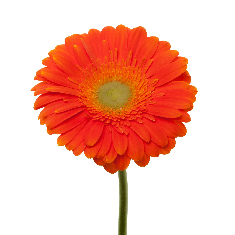 Gerbera Light Center | Orange - 80 Stem Count by Flower Farm Shop
