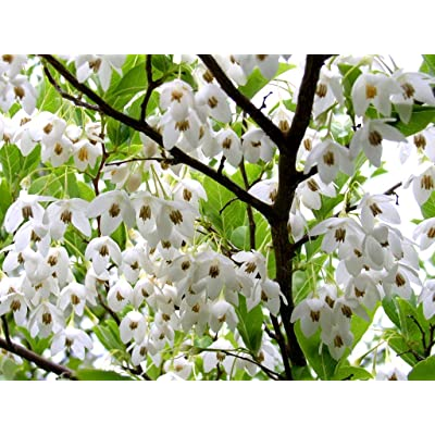 Japanese Snowbell 3 - Year Live Flowering Tree : Tree Plants : Garden & Outdoor