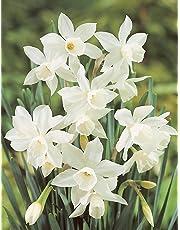 Bulbi di Narciso - ALTA QUALITA' OLANDESE SELEZIONATA