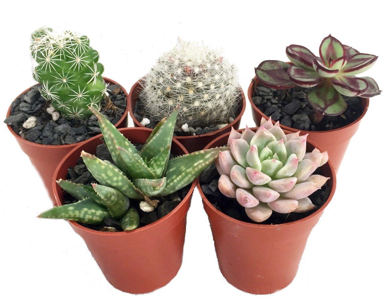 Instant Succulent Collection - Fairy Gardens/Open Terrarium -5 Plants-1.75'' pots