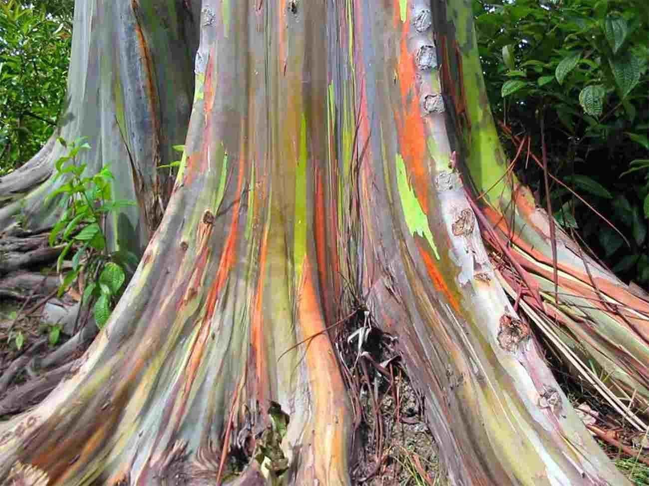 60 Samen Eucalyptus deglupta Regenbogeneukalyptus Rarit/ät Asklepios-seeds/®