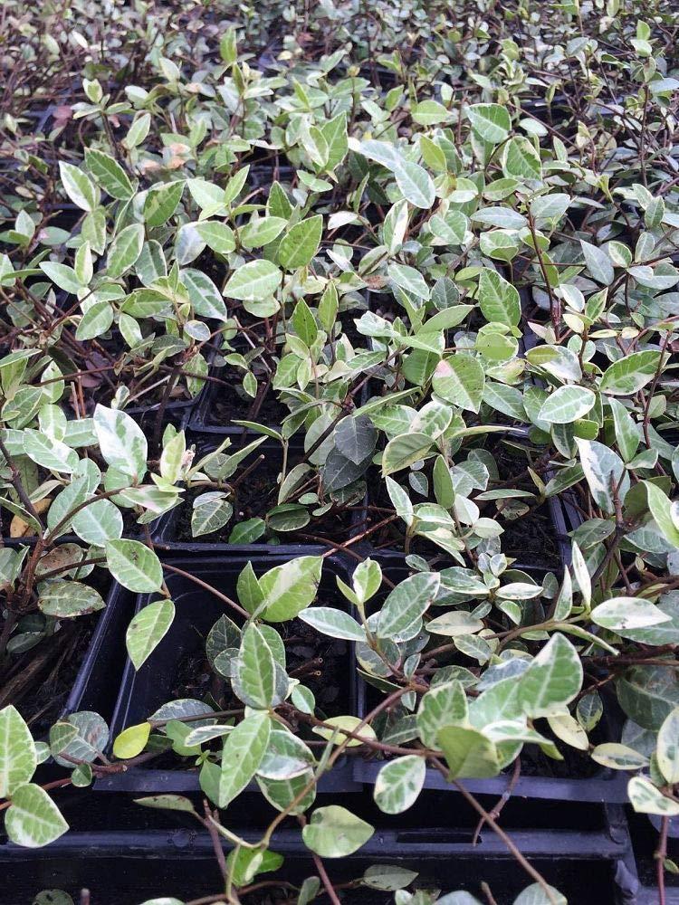 Trachelospermum jasminoides, Confederate Jasmine - 7 Gallon Live Plant by plantvine (Image #1)