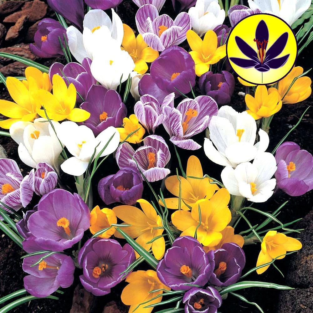 CROCUS MIXED LARGE FLOWERING DWARF HARDY SPECIES SPRING FLOWERS BULBS (10) GardenersDream®
