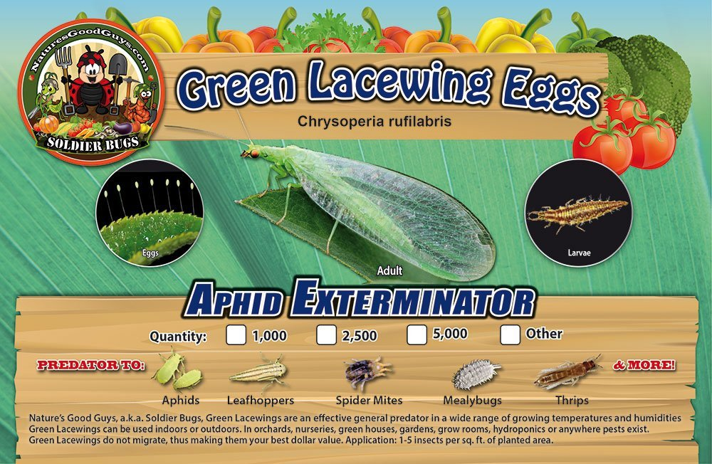 Green Lacewing 1000 Eggs - Good Bugs - Aphid Exterminator by The Future