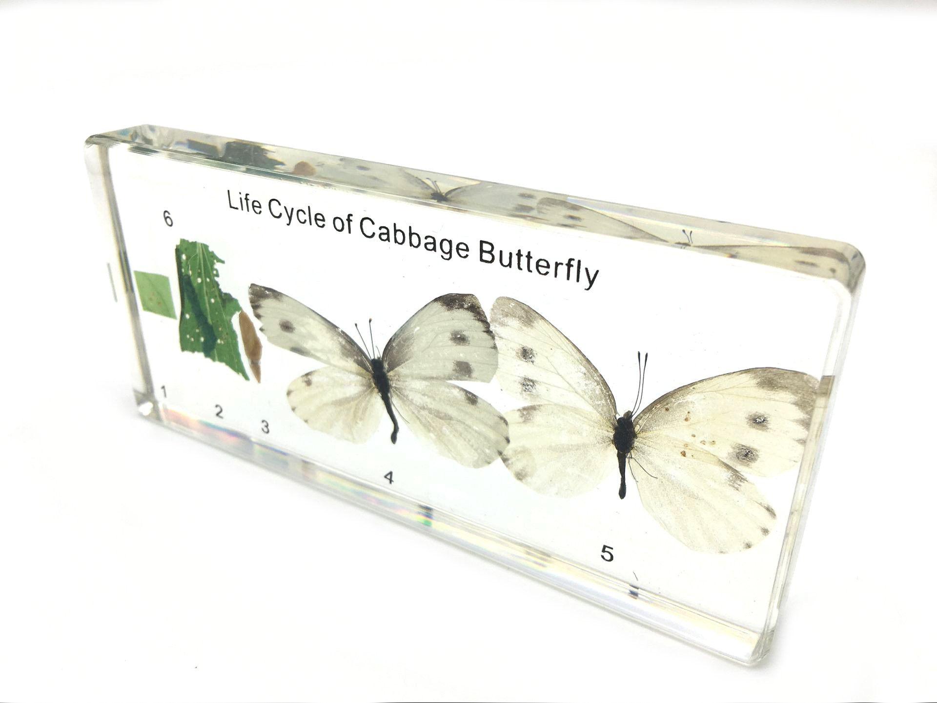 Lifecycle of a Cabbage Butterfly Paperweight Science Classroom Specimens for Science Education