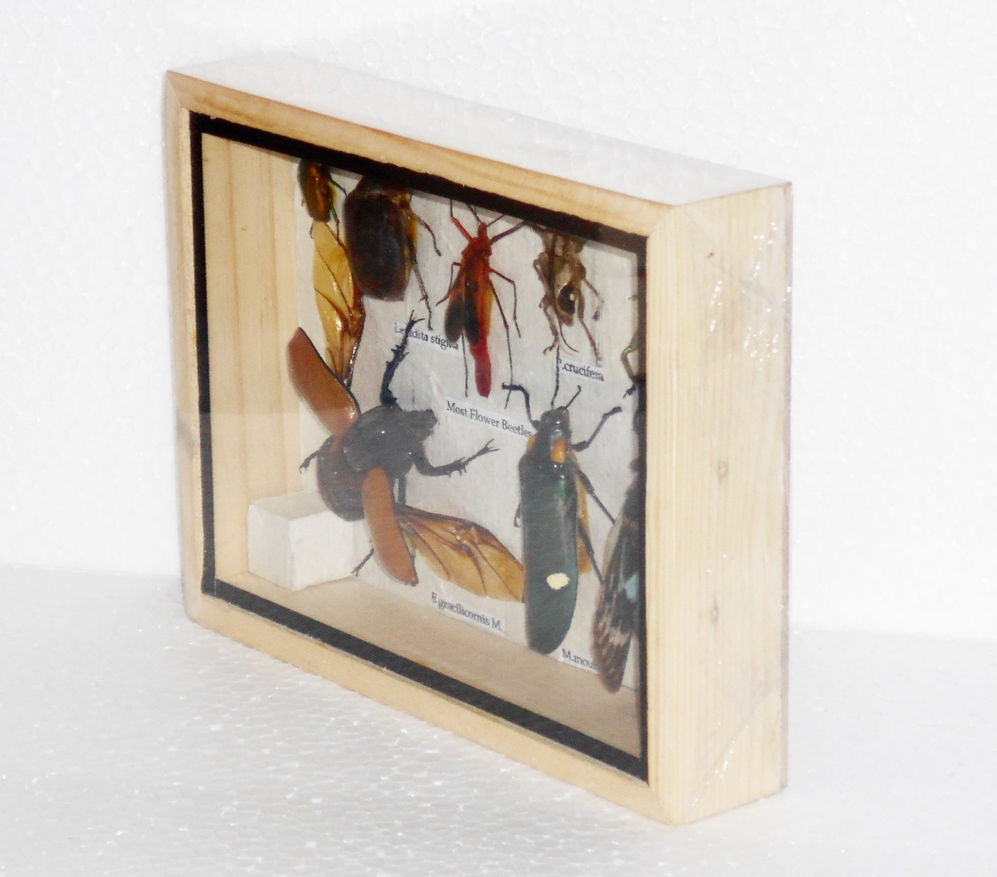 Real Mixed Beetle Cicada Insect Boxed Framed Taxidermy Display Wood ...
