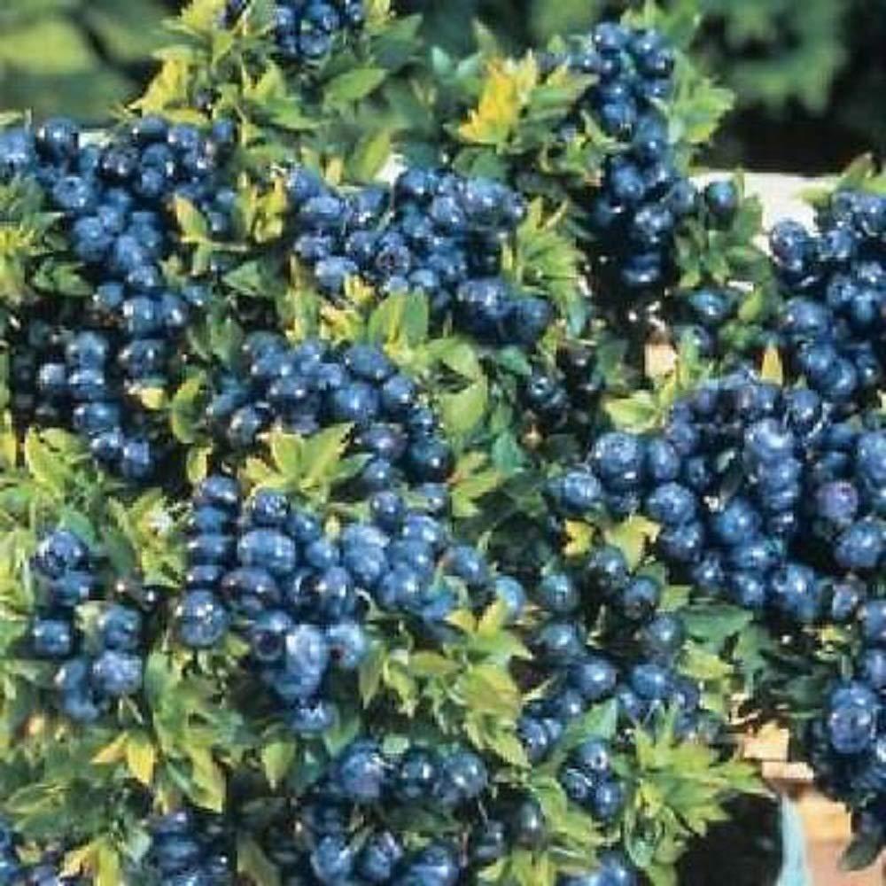 Blueberry Plants Fruits Live 4 Four Dwarf Plant Top Hat V3