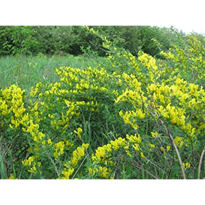 Seeds of Broom - Cytisus - 300 Seeds Pack : Garden & Outdoor