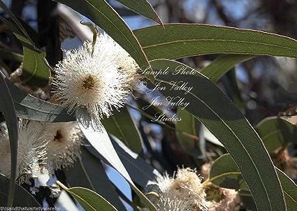 Amazon eucalyptus globulus tasmanian blue gum seeds evergreen eucalyptus globulus tasmanian blue gum seeds evergreen white flowers aromatic 10 seeds 1st class with mightylinksfo