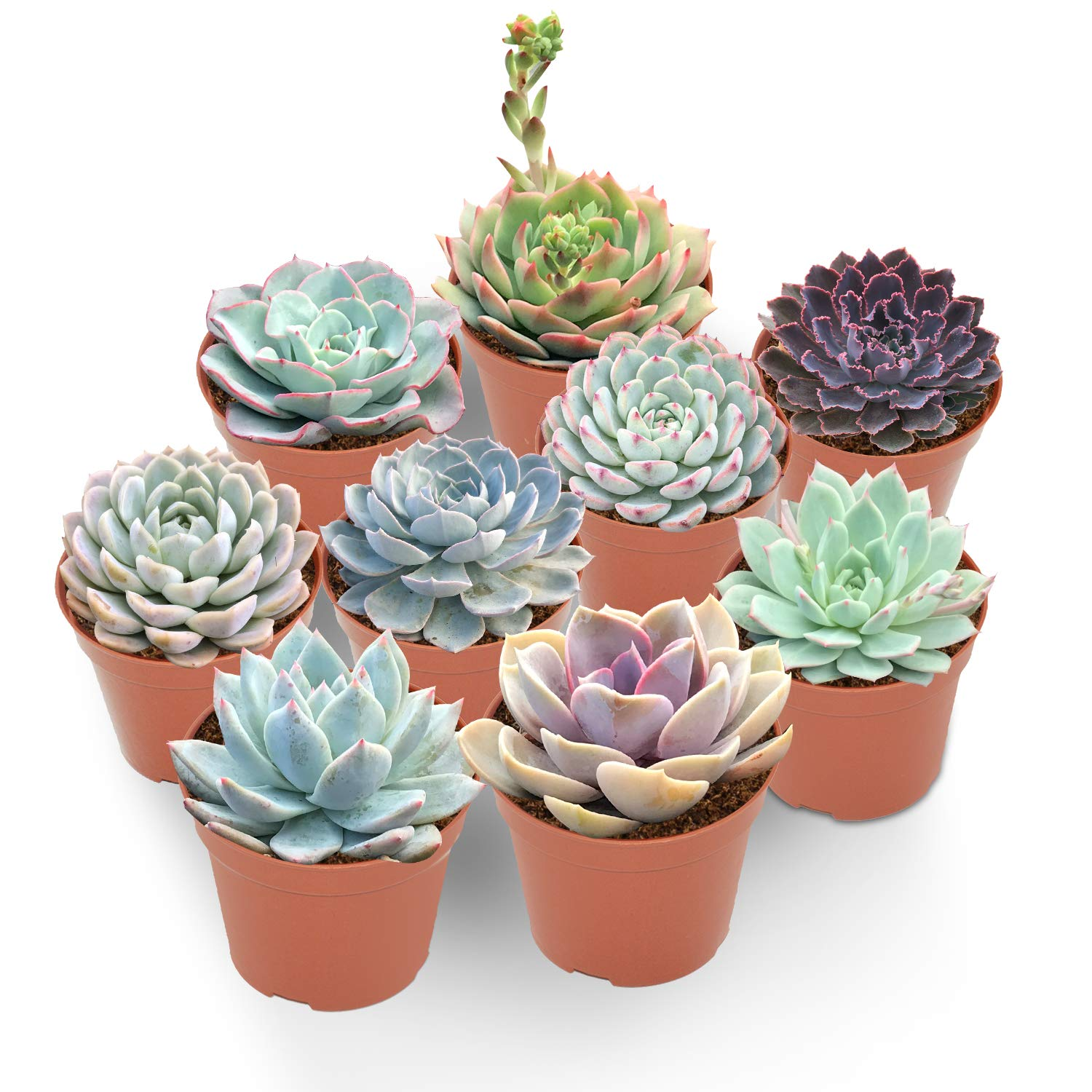 Premium Rosette Succulents, 9 Assorted Rooted Succulents in 4'' Planter Pots with Soil, Real Live Succulents Bonsai for Indoor Home Office Cactus Decor, Terrariums, Mini Garden
