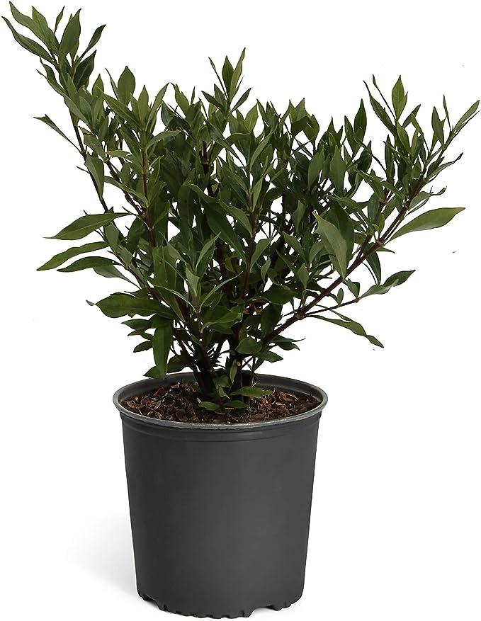 Indoor//Outdoor Flowering Plant Brighter Blooms No Shipping to AZ 3 Gallon Dwarf Radicans Gardenia Shrub
