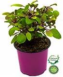 Strauchbasilikum, Basilikum frisch, Strauchbasilikum Pflanze, African Blue