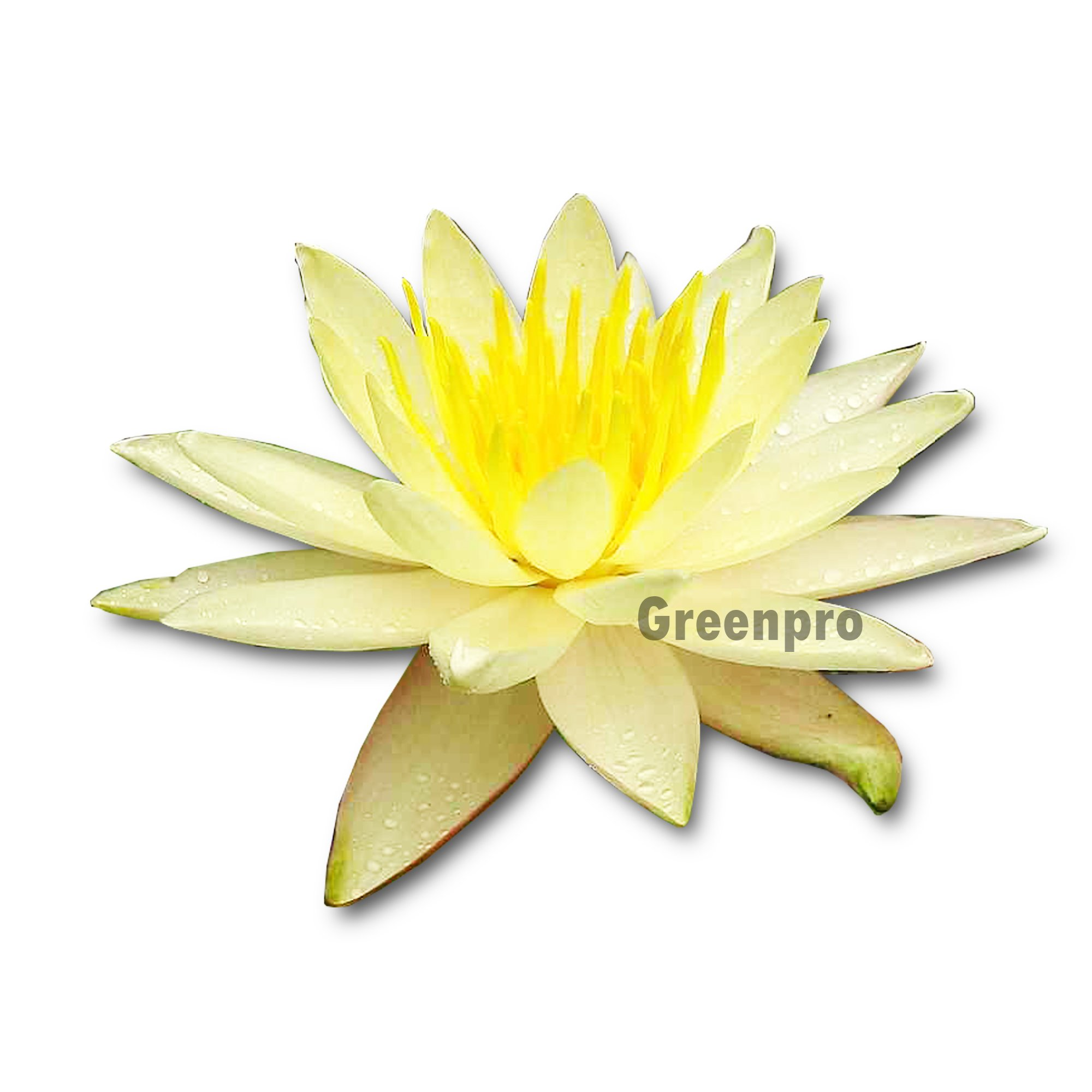 Live Aquatic Plant Nymphaea Charlene Strawn yellow Hardy Water Lilies Tuber for Aquarium Freshwater Fish Pond by Greenpro