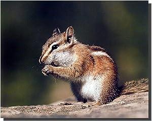 Chipmunk or Squirrel Eating Food Wall Decor Art Print Poster (16x20)
