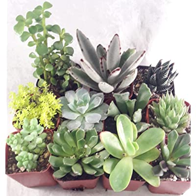 Terrarium/Fairy Garden Kit with 5 Succulents - Create Your Own Living Terrarium unique from Jmbamboo: Everything Else