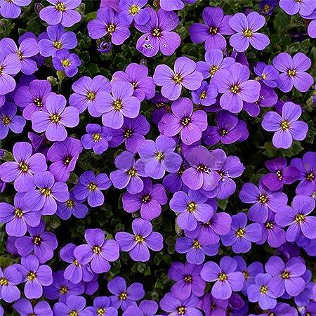 Fiori Viola Immagini.Wuwxiuzhzhuo 220pcs Aubrieta Semi Linaceae Semi Di Fiori Viola