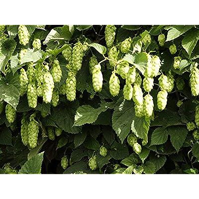 100Pcs/Pack Hops Seeds Common Hops European Humulus Lupulus Vine Seeds Beer Making Ingredient New Hops, Humulus lupulus, Perennial Vine (Fast, Hardy, Edible) Decor Balcony Garden : Garden & Outdoor