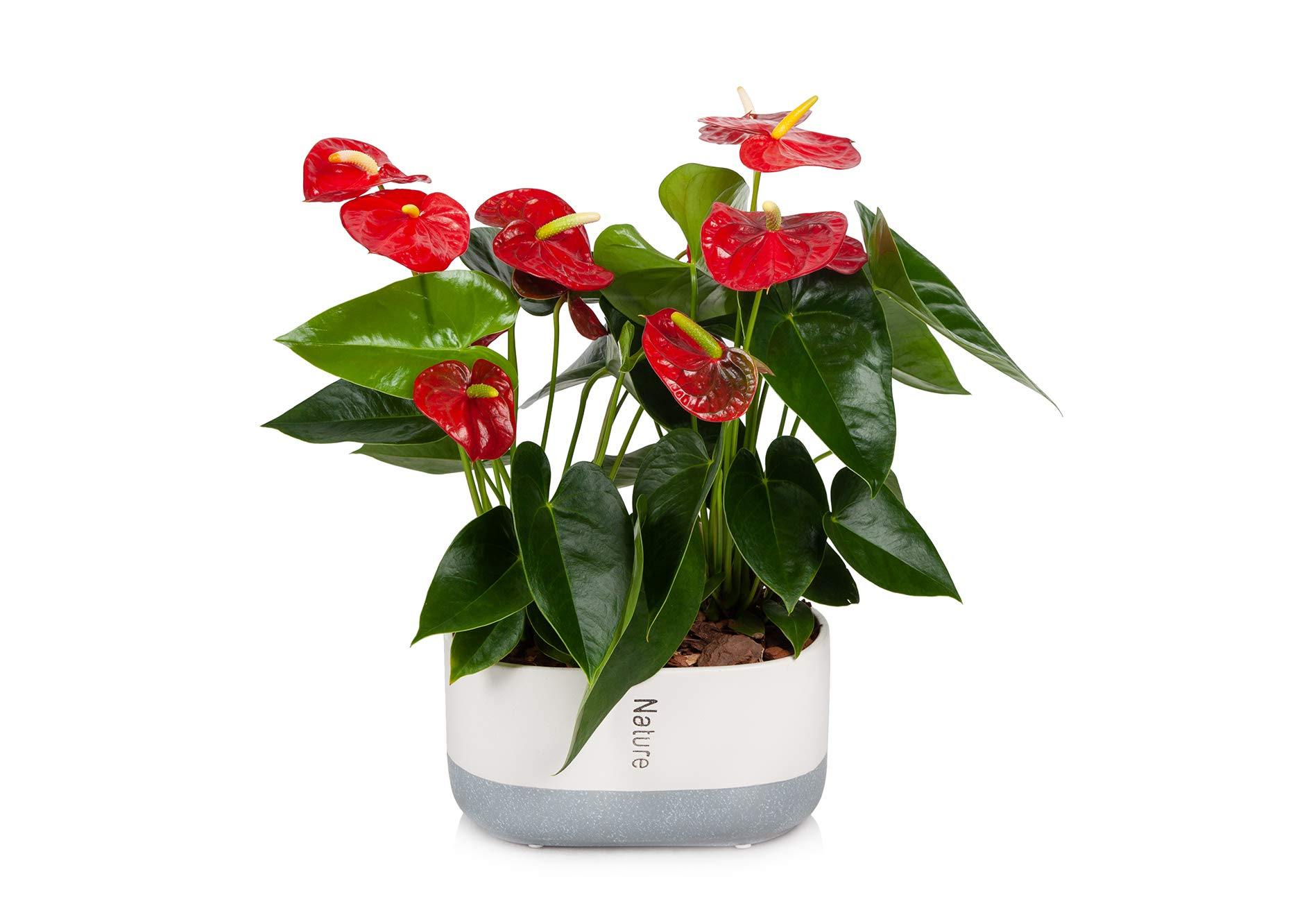 Just Add Ice Anthurium Red