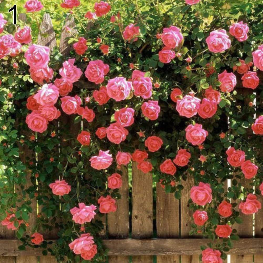 LOadSEcrs Garden 100 Pcs Climbing Rose Seeds Non-GMO Ornamental Plants Yard Office Decoration Open Pollinated Seeds Pink