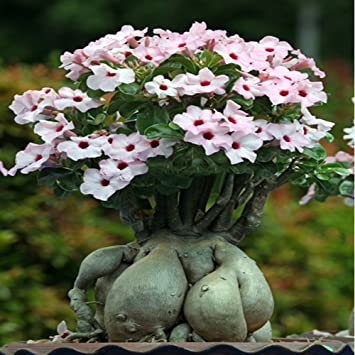 Amazon Solution Seeds Farm Heirloom Pink Desert Rose Adenium