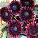 Package of 40 Seeds, Procut Red Sunflower (Helianthus annuus) Non-GMO Seeds by Seed Needs