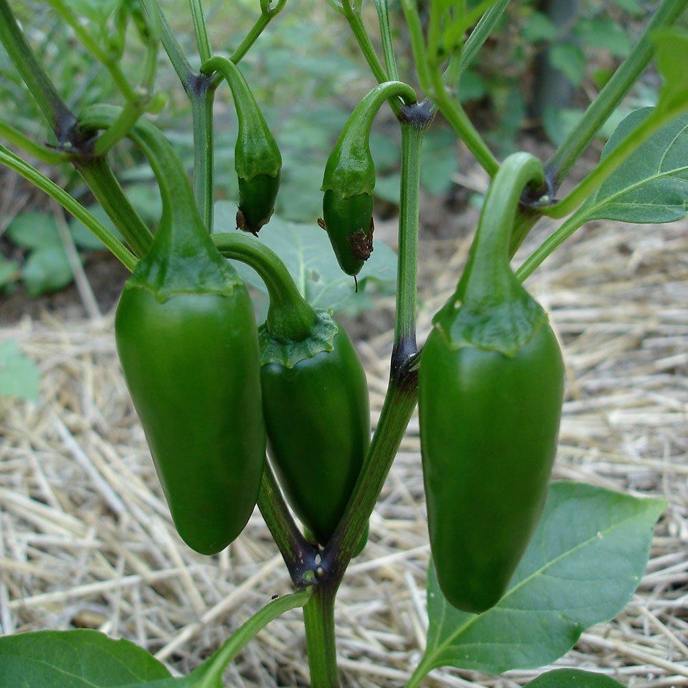 Bonnie Plants Jalapeno Hot Pepper Live Vegetable Plants - 4 Pack | Most Popular Chile Pepper | Non-GMO | 24 - 48 Inch Plants | 3 Inch Pepper Size by Bonnie Plants (Image #9)