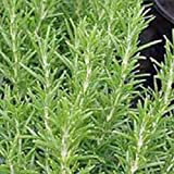 Rosemary, Herb Seed, Heirloom, Organic, 20+ Seeds, Healthy and Tasty HerbThe germination rate for Rosemary can be low, perhaps 30 to 50% so, plant a few more seeds than you would normally do..
