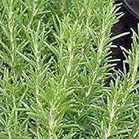 Rosemary, Herb Seed, Heirloom, Organic, 20+ Seeds, Healthy and Tasty HerbThe Germination...