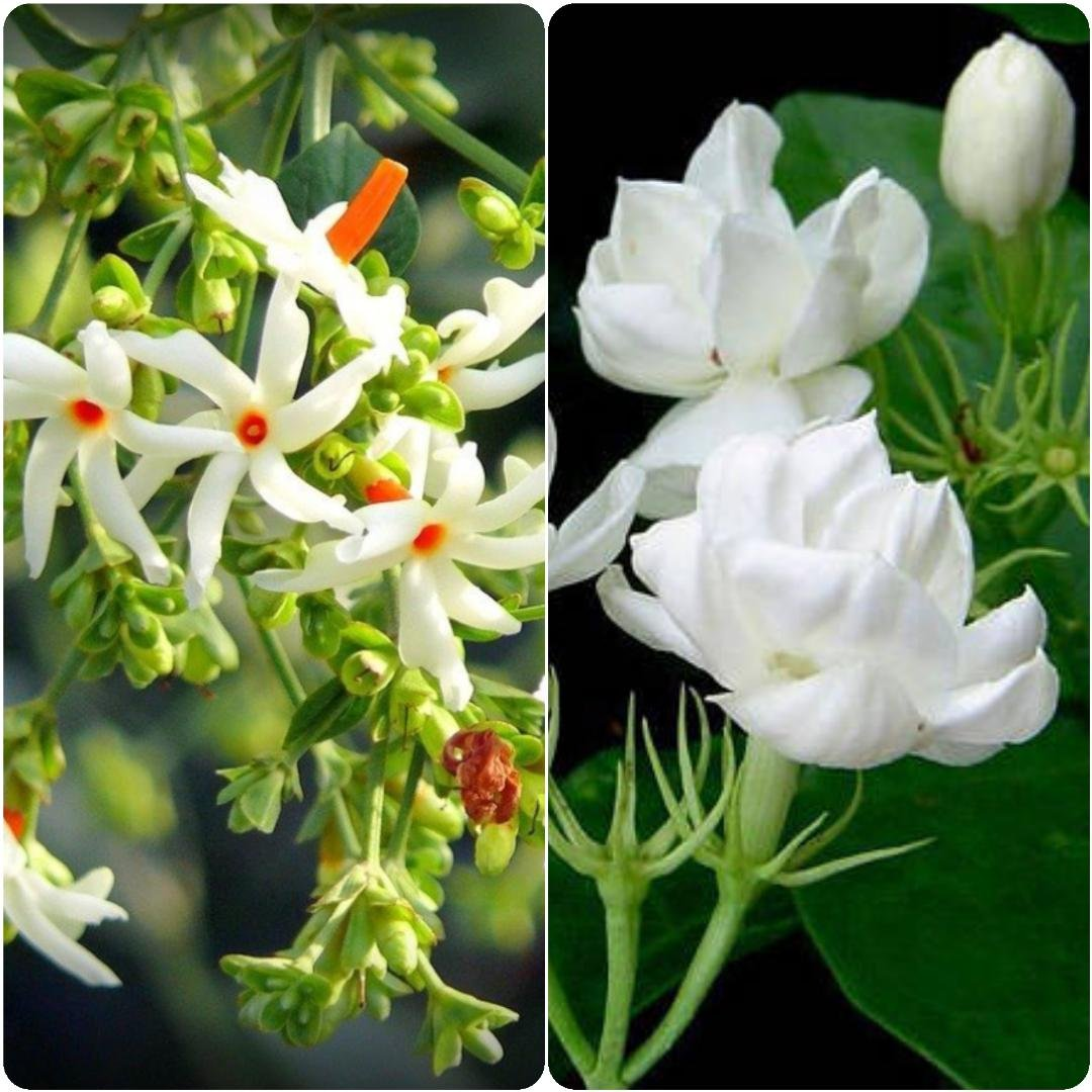 1 Night Jasmineparijat Live Flower Plant 1 Double Jasmine Flower