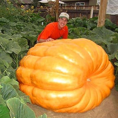 airrais 20pcs Giant Pumpkin Seeds Organic Vegetable Seeds Home Garden : Garden & Outdoor