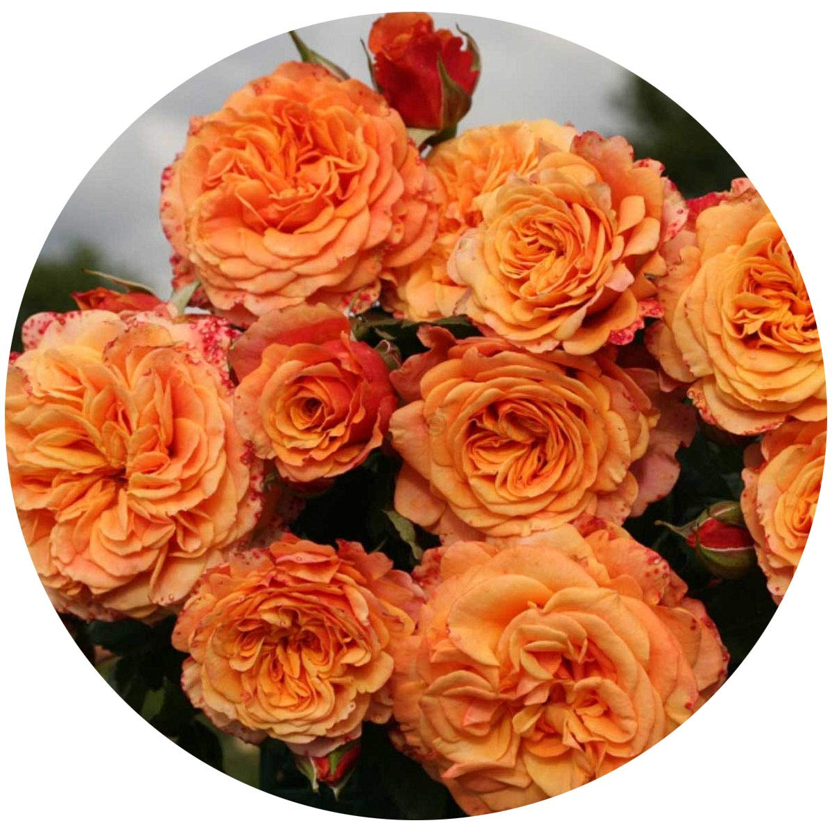 Crazy Love Rose Bush Reblooming Sunbelt Rose - Double Apricot Orange Flowers - Heat Resistant Grown Organic Potted - Stargazer Perennials