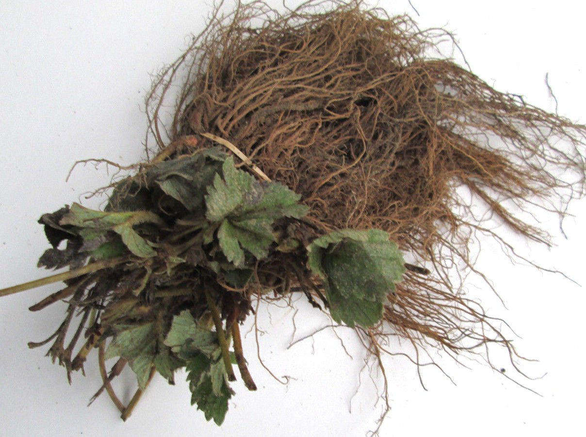 50 CHANDLER STRAWBERRIES- CERTIFIED BARE ROOT PLANTS - Great for Southern areas