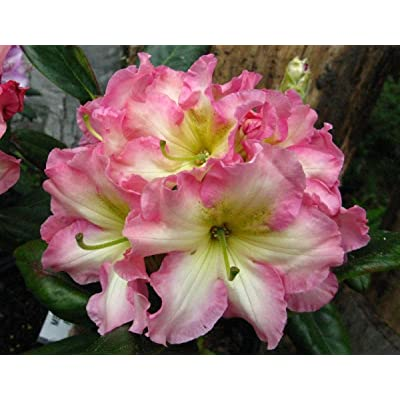"Rhododendron Melrose Flash - Pink and Yellow Blooms with Green Throats - Grows Five Feet Tall (21"" to 24"" Wide Plant – Typically Seven Gallon) : Garden & Outdoor"