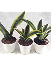 "Superba Robusta Snake Plant - Sanseveria - 3 pack - Impossible to kill! - 4"" Pot Gift"