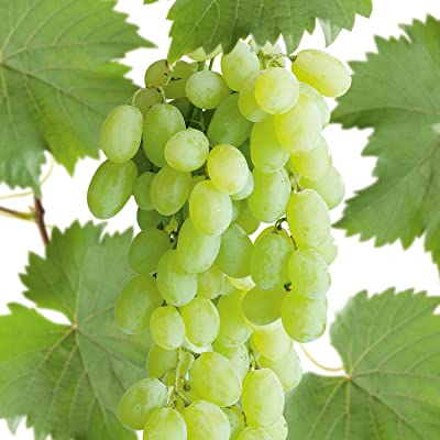 Polish Table/Wine Grape, White Huge Clusters of Fruits, cuttings (3) : Garden & Outdoor