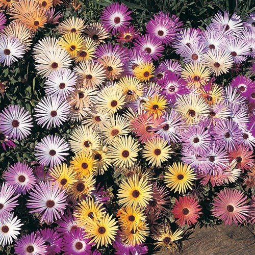Daisy Seeds (Ice Plant) - Livingstone Pastel Mix - Packet, Various Pastel Hues of Pink/White/Yellow/Purple, Flower Seeds