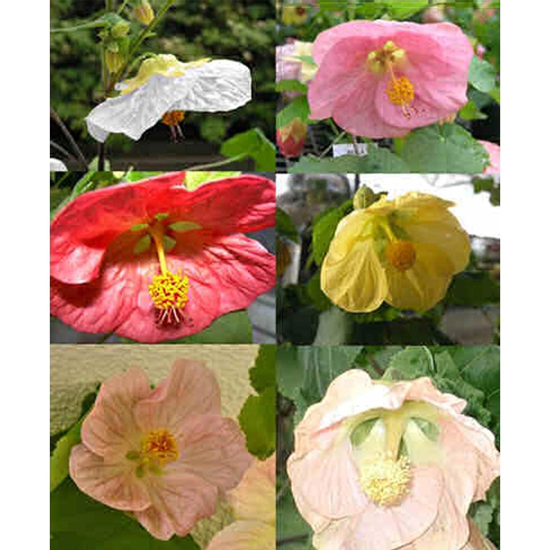 Amazon Abutilon Flower Garden Seeds Bella Mix 100 Seeds