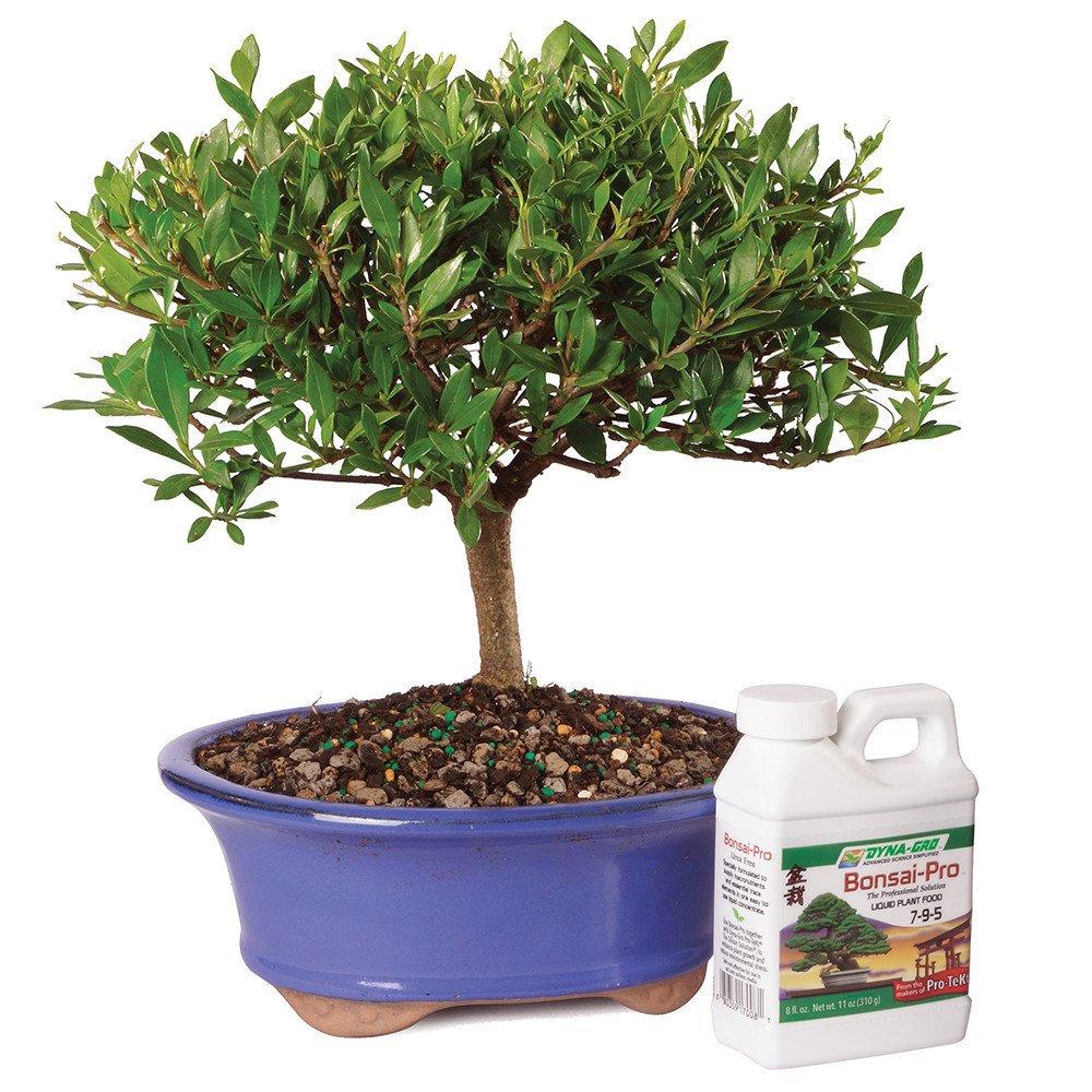 Brussel's Gardenia Bonsai - Medium (Outdoor) with Bonsai Pro Fertilizer - 8oz