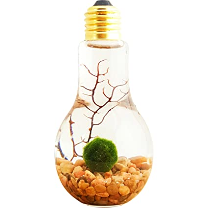 Amazon Com Bliss Gardens Marimo Moss Ball Light Bulb Water